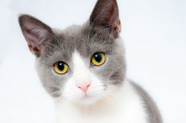 Grey and White Cat - We Care Insurance